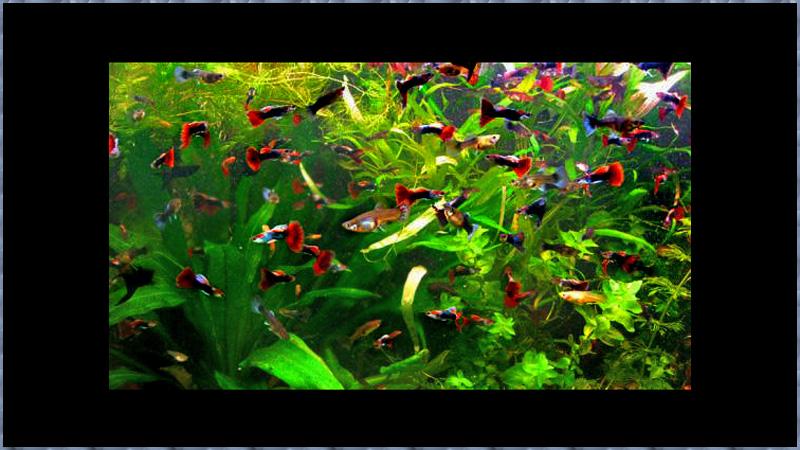 Как спят гуппи в аквариуме
